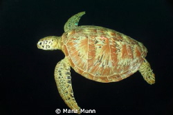 Turtle at Sipidan Island, Malaysia.  My housing got stuck... by Maria Munn