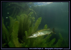 King Pike Fish taking a rest... :O)... by Michel Lonfat