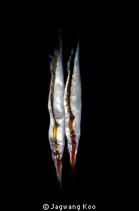 razor fish by Jagwang Koo
