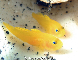 Toffy goby in shell Nikon D200 , 60 micro , twin strobo by Marchione Giacomo
