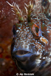 Blenny from Yassiada. by Alp Baranok