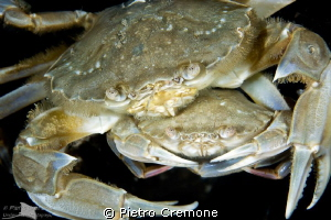 Mating crabs by Pietro Cremone