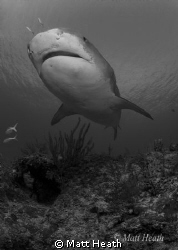 Tiger Shark by Matt Heath