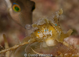 A curious sharpnose puffer takes an interest in the sarga... by David Valencia