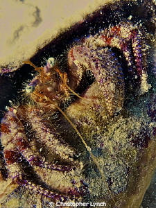 Starry eyed hermit crab in conch shell by Christopher Lynch