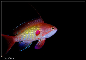 A beautiful Anthias :-D by Daniel Strub