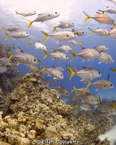 A school of Horse-Eyed Jacks hanging around at Devil's Gr... by Ellen Cuylaerts