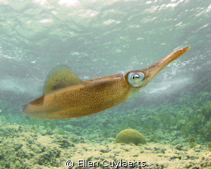 Look at my curves! Caribbean Reef Squid posing at the Ede... by Ellen Cuylaerts