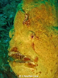 giant frogfish@lembeh straits by Chinchin Law