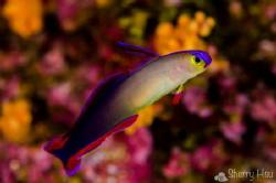 Purple Fire Goby/ Decorate Dartfish@Kamigusuku, Tokashiki... by Sherry Hsu