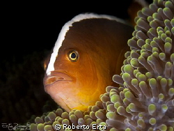 Clown Fish by Roberto Erta