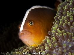 Clown Fish by Roberto Erta