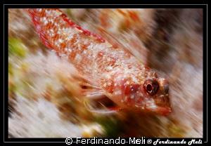 Very fast blenny... by Ferdinando Meli