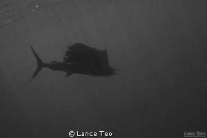 Silhouette of Sailfish by Lance Teo