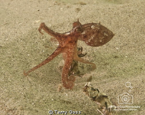"""Little Stretch"" - a small (baby?) Octopus vulgaris, at t... by Terry Goss"