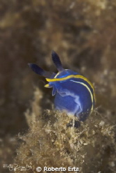 Nudibranch Villafranca by Roberto Erta