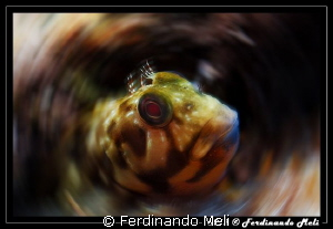 Blenny by Ferdinando Meli