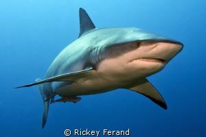 Female Caribbean Reef shark - Cara a Cara, Roatan, Honduras by Rickey Ferand