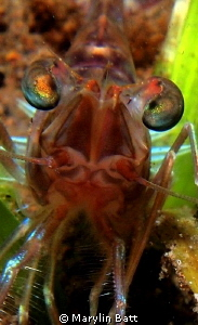 prawn species, looks really cool with his green eyes. by Marylin Batt