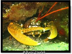 Avsa Island - Marmara - Lobster by Baris Civelek