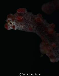 Pigmy Sea-Horse, portrait by Jonathan Sala