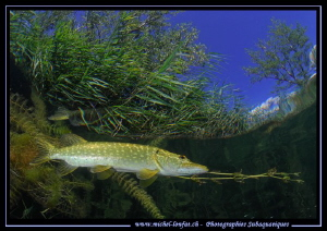 Adult Pike Fish... :O)... by Michel Lonfat