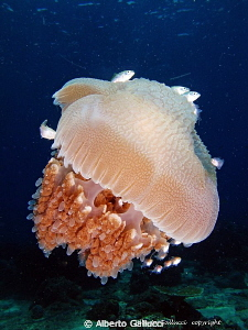 Jellyfish in Pemuteran, Bali by Alberto Gallucci
