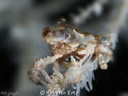 Xeno Crab Canon 1000d, 2 strobe Sea&Sea 110, Housing Nim... by Roberto Erta