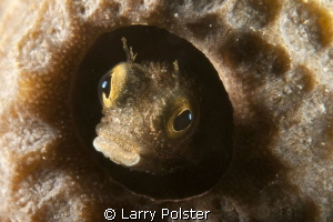 Small blenny shot with D300, 60mm, with Subsee + 10 by Larry Polster