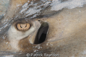 Southern Stingray eye. by Patrick Reardon