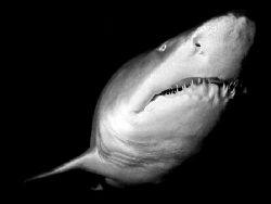 Sand Tiger Shark. Nikon D70 14mm lens by Grant Kennedy