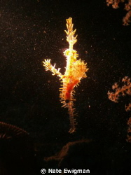I found this Ornate Ghost Pipefish under a ledge in the d... by Nate Ewigman