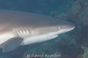 Shark. by Patrick Reardon