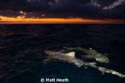 lemon sharks at sunrise by Matt Heath