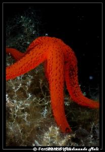 Starfish by Ferdinando Meli