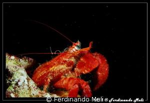 Hermit crab by Ferdinando Meli