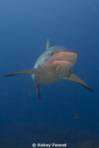 Caribbean Reef Shark by Rickey Ferand