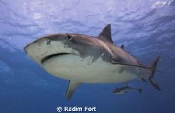 žralok tygří by Radim Fort