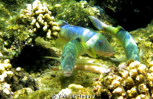 Yellowsaddle goatfish by Yakout Hegazy