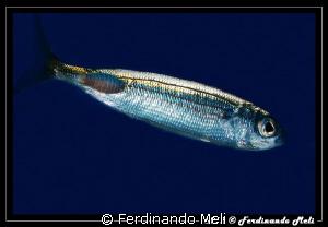 A fish whit its parasite by Ferdinando Meli