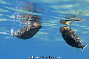 Boxfishes
