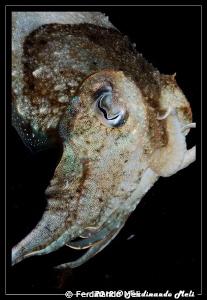 Cuttlefish by Ferdinando Meli
