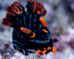 Nudibranch (Nembrotha kubaryana) by Iyad Suleyman