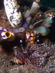 Lionfish with colorfull sponges. Lembeh Straits, Olympus... by Erika Antoniazzo
