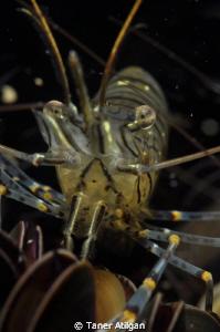 shrimp 1 by Taner Atilgan