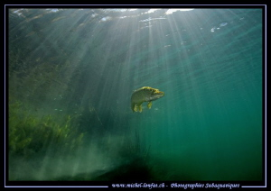 Sunlight on a Pike Fish... :O)... by Michel Lonfat