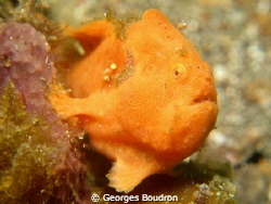 frogfish by Georges Boudron