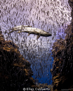 Tarpons and silversides in diver's paradise