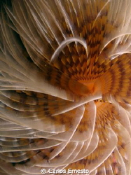 Feather duster worm by Carlos Ernesto