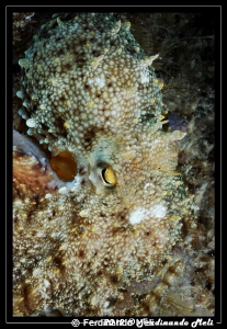 Excellent example of camouflage. Where is the octopus? by Ferdinando Meli